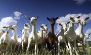 Продаем диетическое мясо козы,  тушу 20 кг. за 35 тыс.тенге